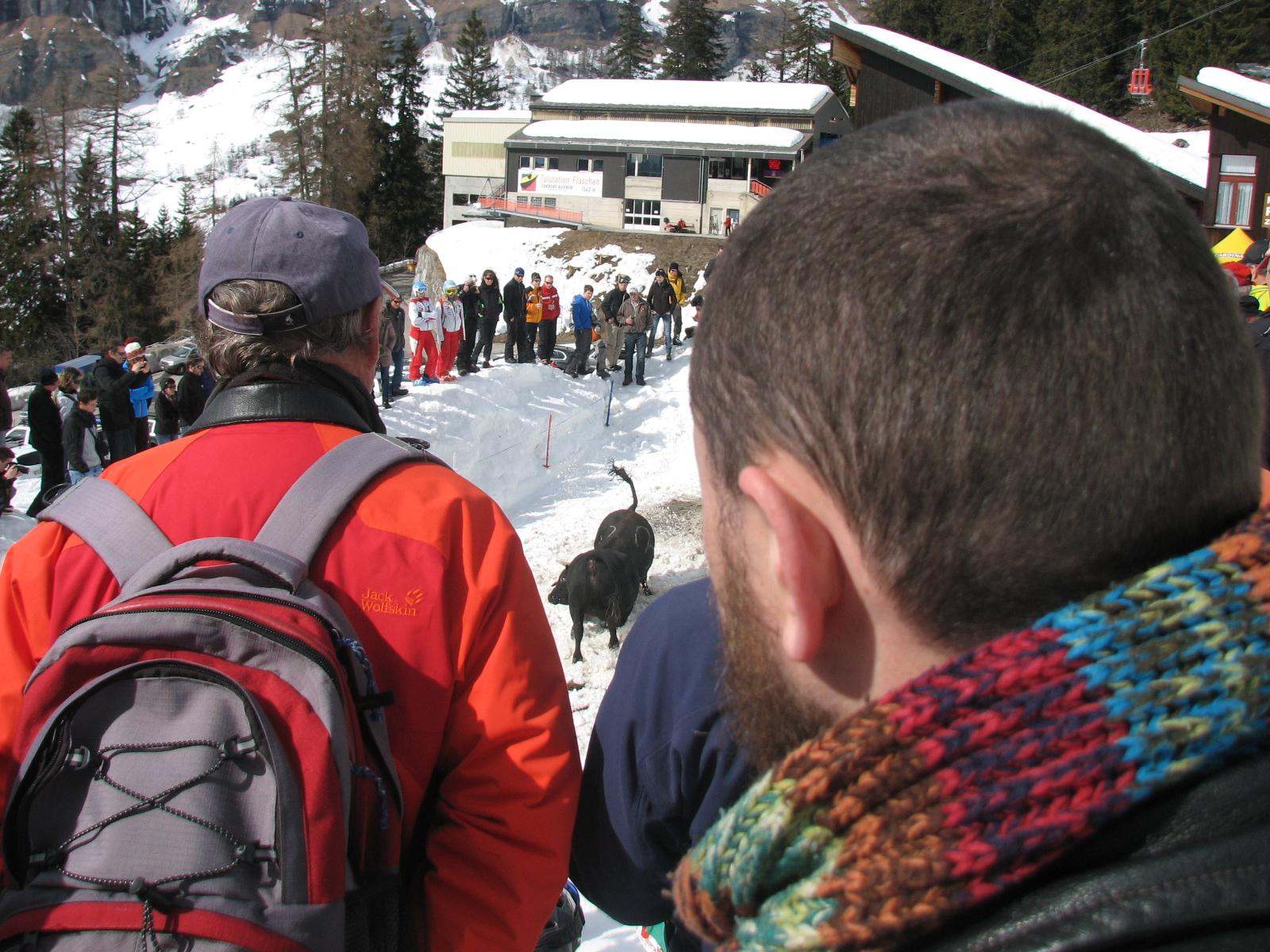 Juozas Laivys is watching alpine cow fight